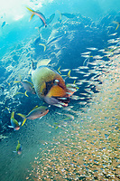 A titan triggerfish (Balistoides viridescens) swims speedily through a school of glass fish during a feeding frenzy of different species of fish, Similan Islands, Andaman Sea, Thailand,