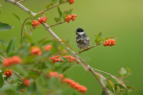 Blackpoll Warbler (Dendroica striata), male perched on Berlandier's fiddlewood (Citharexylum berlandieri), South Padre Island, Texas, USA