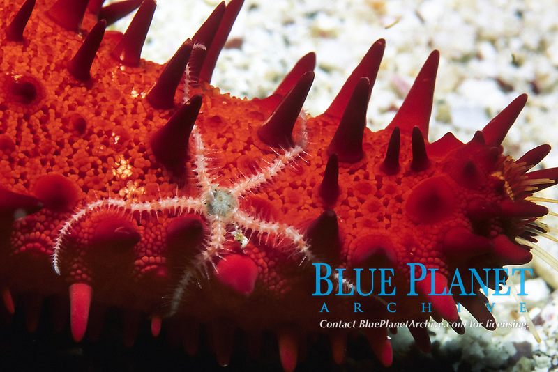 Unidentified sea star with brittle stars, Ophiothrix sp., Galapagos Islands, Ecuador, Pacific Ocean