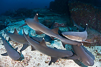 Prospective male Whitetip reef sharks, Trienodon obesus, aggregate around a receptive female. The males will attempt to grasp her pectoral fin and maneuver into a position to copulate. Cocos Island, Costa Rica, Pacific Ocean