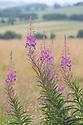 Rosebay willowherb flower {Chamerion angustifolium angustifolium} Oxfordshire, UK. July.