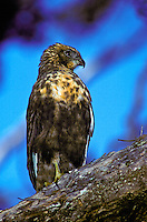 "Endangered Hawaiian hawk or """"io"""", (buteo solitarius). Widespread on the island of Hawaii."