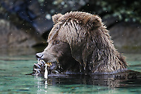 A photo of a coastal Katmai Grizzly eating salmon in a pool of water. Grizzly Bear or brown bear alaska Alaska Brown bears also known as Costal Grizzlies or grizzly bears Grizzly Bear Photos, Alaska Brown Bear with cubs. Purchase grizzly bear fine art limited edition prints here Grizzly Bear Photo Bear Photos,