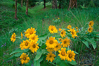 Mule's-ears and ponderosa pines<br /> Big Hogback Ridge,  Rock Creek Canyon<br /> Lolo National Forest<br /> Rocky Mountains,  Montana