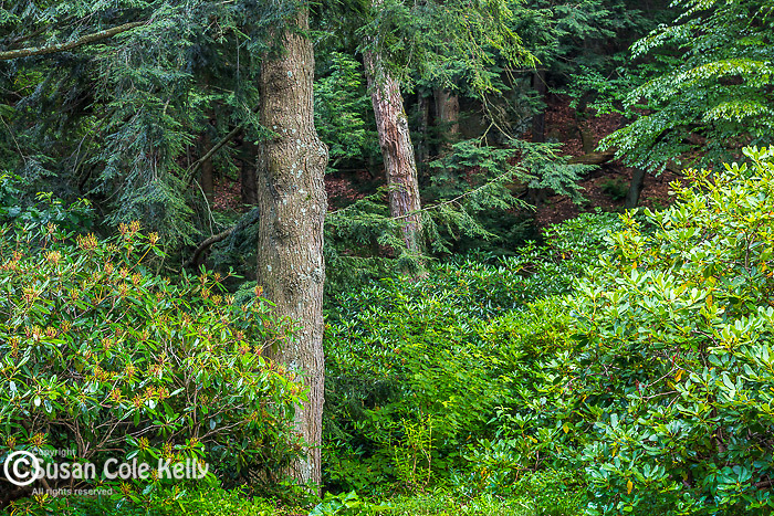 Hemlock trees at the Arnold Arboretum in the Jamaica Plain neighborhood, Boston, Massachusetts, USA