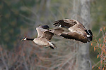two canada geese honking after taking off from a stream in the lee metcalf wildlife refuge in western montana