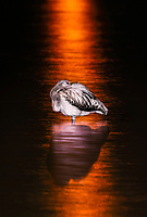greater flamingo (Phoenicopterus roseus) at night, Spain