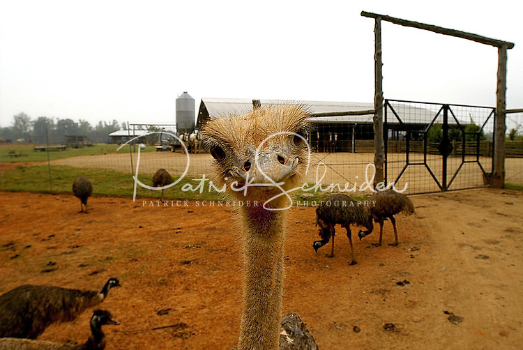 An ostrich stares at the camera at Lazy Five Ranch in Mooresville, NC. The exotic animal drive-thru park is a popular safari for Charlotte-area families.