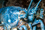 Northern Lobster blue color phase close-up of face.  1 in every 2 million lobsters are blue