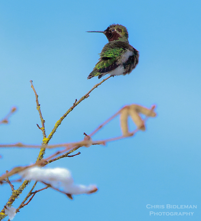 Anna's Hummingbird is looking over shoulder sitting on end of snow covered tree branch in Winter with sun shining and blue sky all around