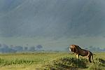 Male Lion (Panthera leo) roaring, early morning in Ngorongoro Crater. Ngorongoro Conservation Area, Tanzania. March 2010.