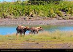 Alaskan Coastal Brown Bear Cubs, Silver Salmon Creek, Lake Clark National Park, Alaska