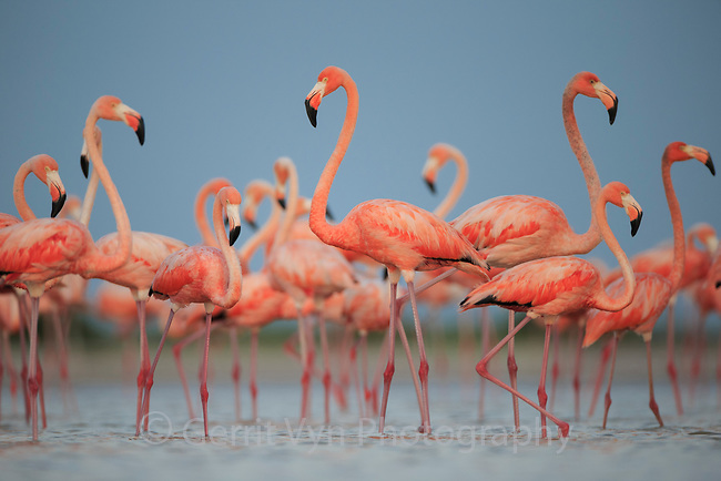Adult American Flamingos (Phoenicopterus ruber) gathered near a nesting colony. Rio Lagartos Biosphere Reserve, Mexico. July.