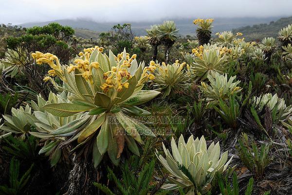 Bromeliads (Puya) and Frailejon (Espletia), blooming, Puracé National Park, Department Cauca, Colombia