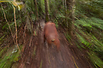 Bornean Orangutan (Pongo pygmaeus wurmbii) - adult female in moving blur