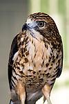Broad winged hawk medium shot facing left