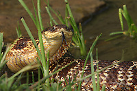 """The hognose snake is sometimes nicknamed the """"Puff adder"""", because one of its bluffs when threatened is to swell its head and neck so it looks larger. This king of bluffs will also hiss loudly and thrash its tail to try and scare away intruders."""