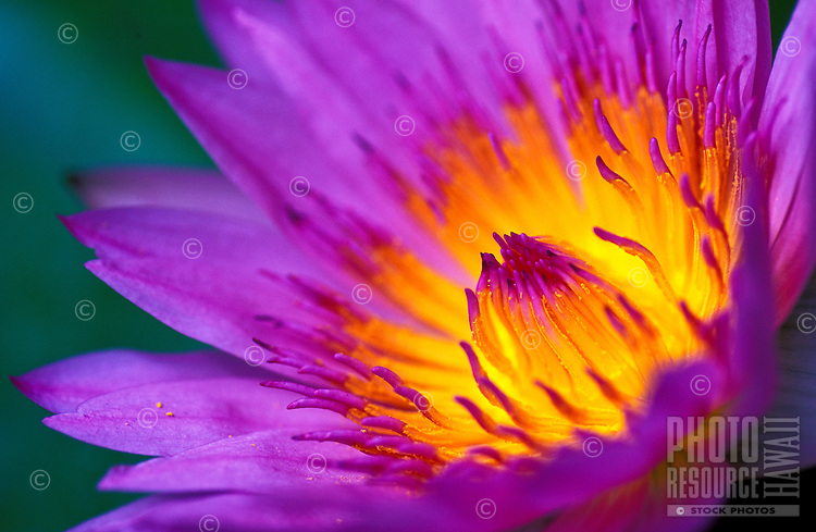 The beautiful flower of a water lily.