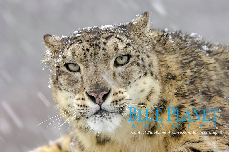 Snow Leopard (Panthera uncia), adult, portrait, in snowfall