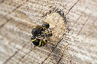 Große Stängelwespe, Stängelwespe, Lehmwespe, Mauer-Lehmwespe, Mauerlehmwespe, Weibchen, Symmorphus murarius, Mason wasp, potter wasp, female, Lehmwespen, Solitäre Faltenwespen, Eumenidae, Potter wasps, mason wasps