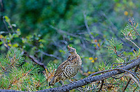 Ruffed Grouse (Bonasa umbellus).  Western U.S., early fall.