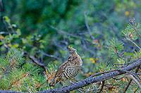 Ruffed Grouse (Bonasa umbellus).  Western U.S., early fall.
