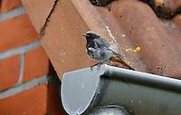 Hausrotschwanz, Männchen sitzt auf Dach, Dachrinne, Haus-Rotschwanz, Rotschwänzchen, Phoenicurus ochruros, black redstart