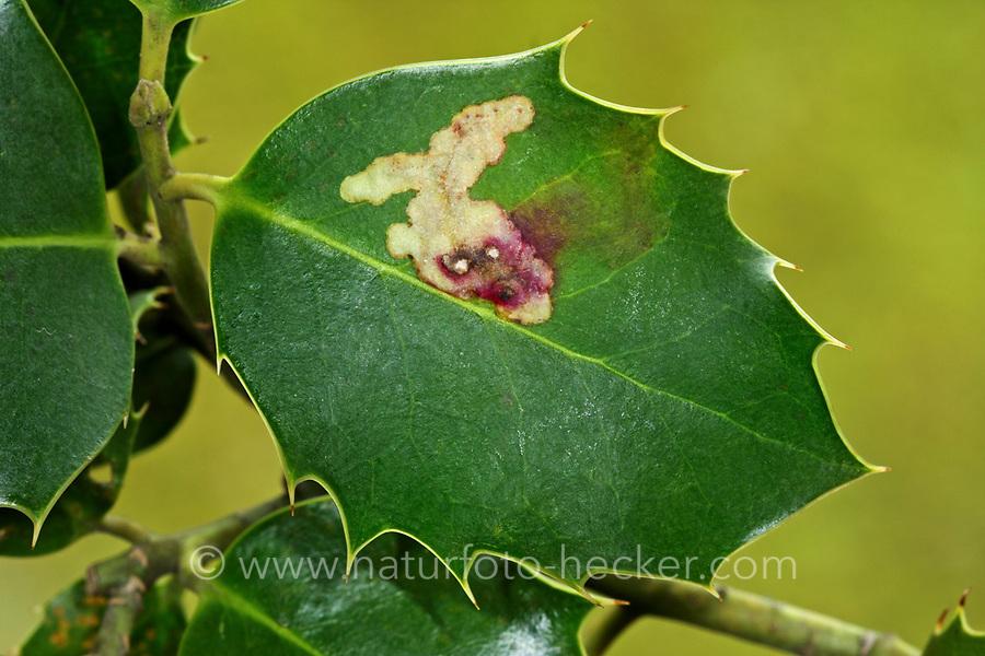 Ilexminierfliege, Ilex-Minierfliege, Stechpalmen-Minierfliege, Minierfliege, Blattminierfliege, Fraßspur in einem Blatt, Phytomyza ilicis, holly leaf miner, Holly Leaf-miner, la Mineuse du Houx, Minierfliegen, Minierer, Blattminierfliegen, Blattminierer, leaf miner, leaf mines