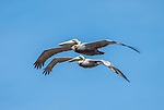 Two pelicans in flight.