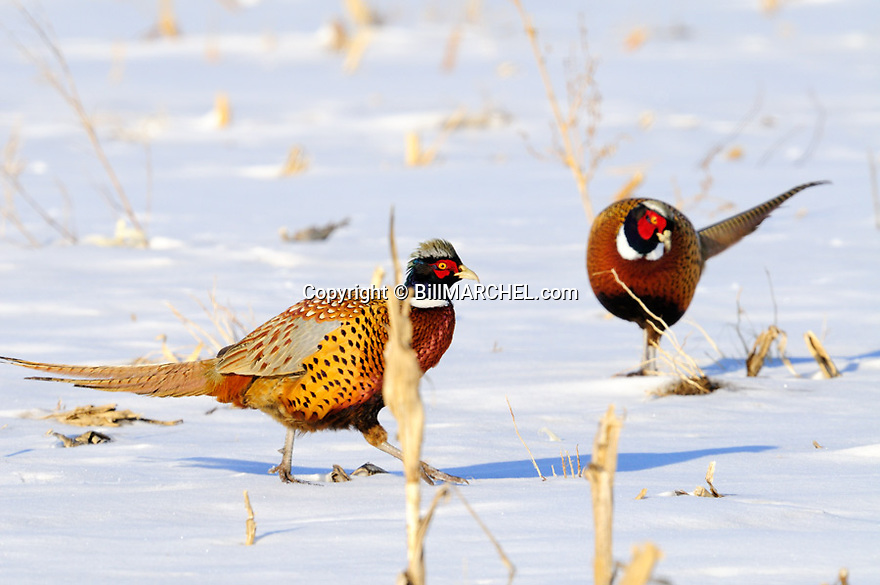 00890-03911 Ring-necked Pheasant pair of roosters are feeding in snow covered corn field.  Winter, cold.