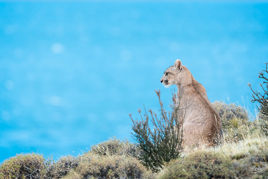 """We saw this wild female Puma (Puma concolor) as a cub in 2018. Her mother is called """"Sarmiento"""" - her territory covers the area surrounding Lago Sarmiento, pictured in the background. This cat, called """"Petaca"""" (little one) by local guides, surveys the heights bordering the lake. Apparently her mother has allowed her to hang in the territory, at least for now."""