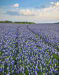 Muleshoe Bend Recreation Area, Texas Hill Country, TX: A two-track in a field of bluebonnets (Lupinus texensis)