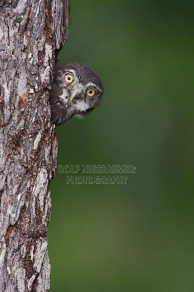 Ferruginous Pygmy-Owl, Glaucidium brasilianum, young looking out of nesting cavity, Willacy County, Rio Grande Valley, Texas, USA