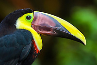 chestnut-mandibled toucan, or Swainson's toucan, Ramphastos ambiguus swainsonii, a subspecies of yellow-throated toucan, Ramphastos ambiguus, Costa Rica