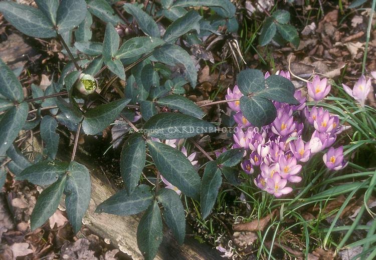 Helleborus sternii Blackthorn Group + Crocus tommasinianus