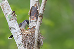 Eastern kingbird feeding a dragonfly to its chick.