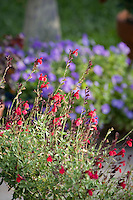 Red flower Salvia greggii (sage) in herbalist garden