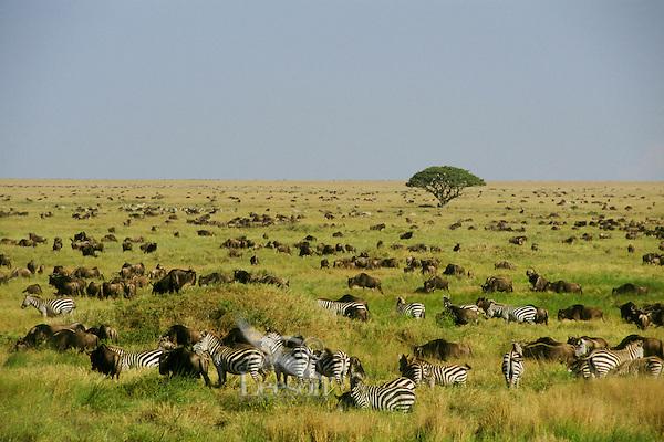 3MB816  Plains Zebra and wildebeast on Serengeti Plains,  Tanznia.