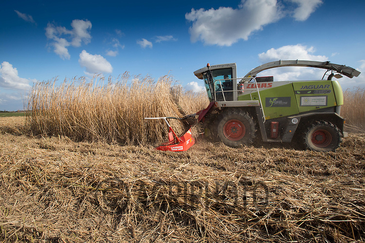 Harvesting Miscanthus for use as biomass fuel.Picture Tim Scrivener 07850 303986.tim@agriphoto.com.?.covering agriculture in the UK?.