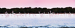 Flock of Greater Flamingos (Phoenicconaias ruber) feeding on Lac Tsimanampetsotsa, south west Madagascar. (digitally stitched image)