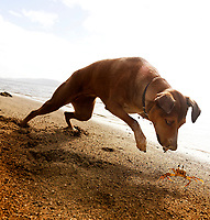 Crabbing: Poi Dog Isabella is one step behind a fast-moving crab on a beach along Maunalua Bay, East O'ahu.