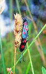 5-Spot Burnet Moth