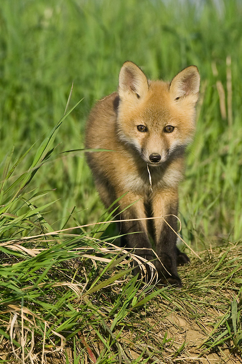 Red Fox Kit standing on the top of a hill