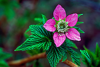 Salmonberry Flower (Rubus spectabilis) blooming along West Coast, Spring