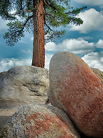 Ponderosa Pine tree and colorful granite glacial erratic boulders. Lake Tahoe, California