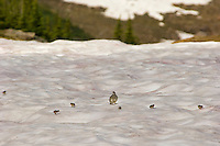 White-tailed Ptarmigans (Lagopus leucurus)--hen with chicks crossing late melting alpine snow field.  Mount Rainier National Park, WA.  Summer.