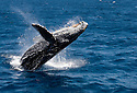 A Humpback Whale, or a Megaptera Novaeangliae, fully breaches off the starboard side of the Truth as the boat returns to harbor from and extended dive trip in the Channel Islands National Park, CA. (Photo by, Karie Henderson © 2008)