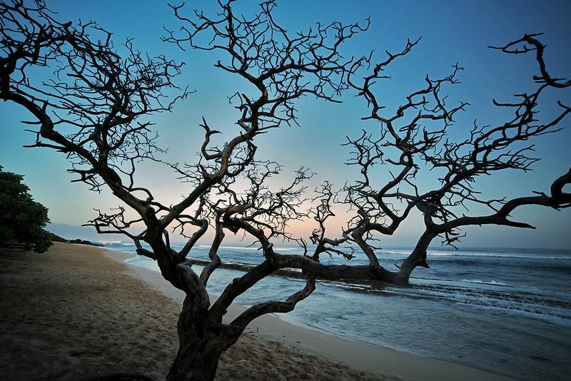 Silhouted dead tree. Hookipa Beach. Maui, Hawaii