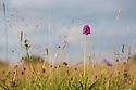 Pyramidal Orchid (Anacamptis pyramidalis) growing in lowland calcareous grassland. Peak District National Park, Derbyshire, UK. July.