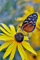 Golden helicon (Heliconius hecale) on Black Eyed Susan flower. Portland Oregon Zoo